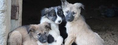 Bosnia-dog-2-puppy--header.jpg_3