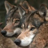 Gray_wolves_flickr_Sander_van_der_Wel