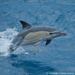 Oceana-Dolphin-Sept15_250