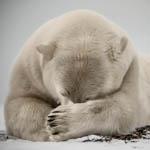 PolarBear_Flickr_ElizabethHaslam_150