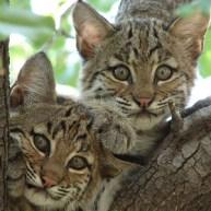 Bobcat_wikimedia_Summer_M_Tribble_300