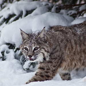 Bobcat_flickr_forest_wander_300