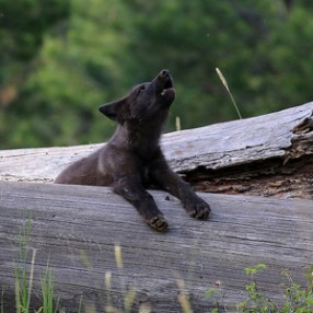 Gray_wolf_pup_Wenaha_Pack_Flickr_ODFW_300