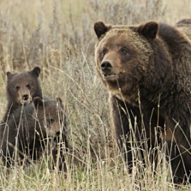 Grizzly_cubs_yellowstone_FLICKR_NPS_JimPeaco_PD_300