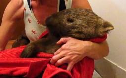 Wombat-1-e_3602888a