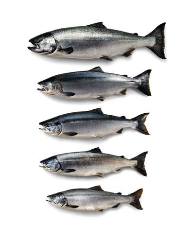 le cinque specie del salmone selvaggio