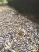 02072015 pesci morti lura foto paleardi (2)