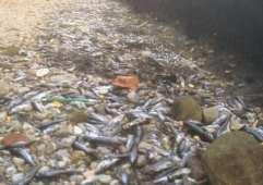 02072015 pesci morti lura foto paleardi (4)