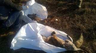 solaro volpi morte (2)