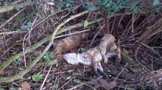 solaro volpi morte (3)