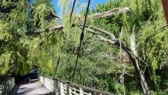 20170419 albero su ponte strallato lura v (1)