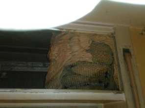 prociv cislago nido calabroni