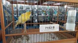 20171111 competizione ornitologica regionale saronno (9)