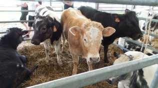 20180425 fiera del bestiame origgio bovini (1)