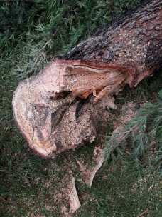 cislago albero caduto 06052018 (1)