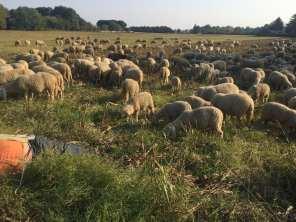 20181014 pecore gregge saronno sud (1)