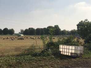 20181014 pecore gregge saronno sud (2)