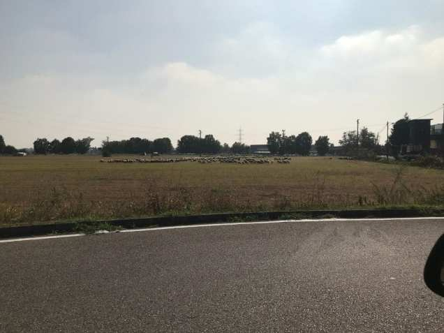 20181014 pecore gregge saronno sud (7)