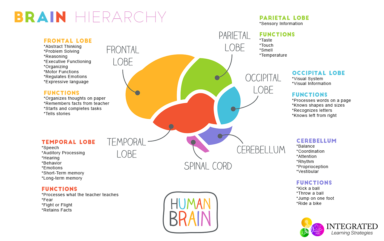 Brain Hierarchy When Your Child S Lower Brain Levels Are