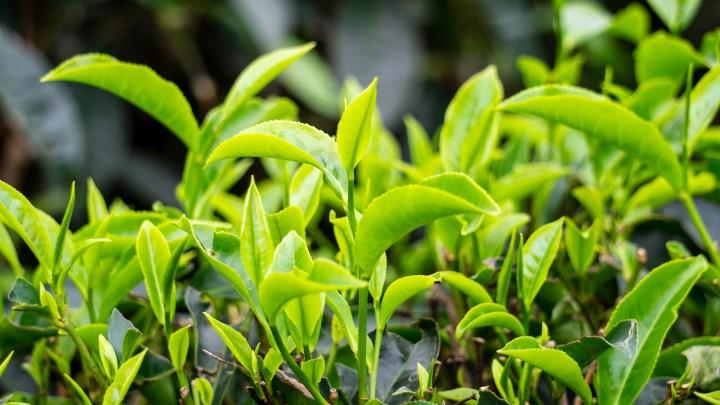 Feuilles de thé à Munnar