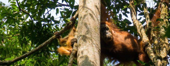 Mère orang-outan et son fils