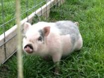 Pig: Hello.