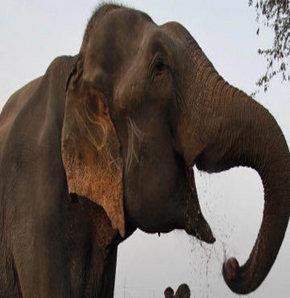 İnsan yiyen fil!