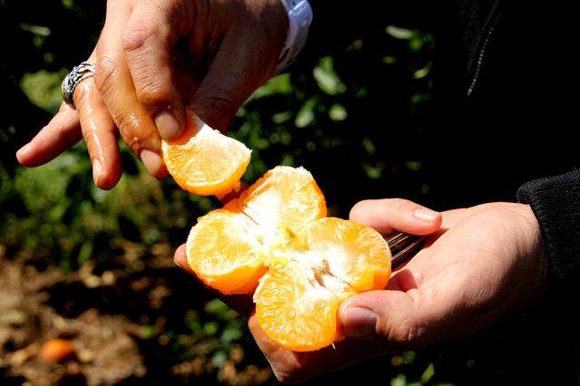 Mandalina tüketimi kolon kanseri riskini azaltıyor