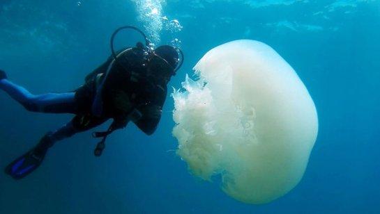 Antalya Körfezi'nde 'başıboş denizanası' yoğunluğu