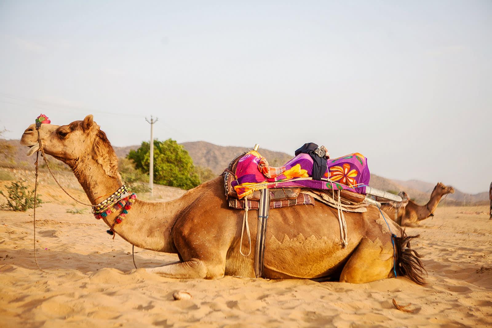 puskar camel