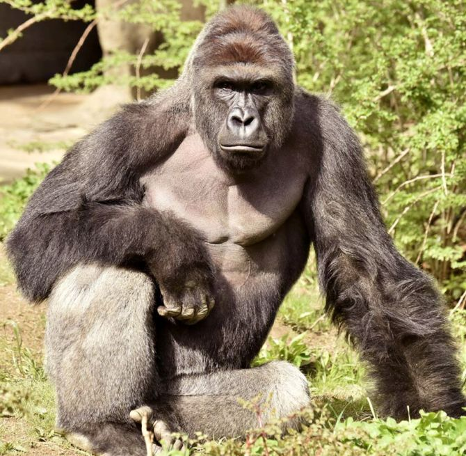 did harambe have to die rediff com india news