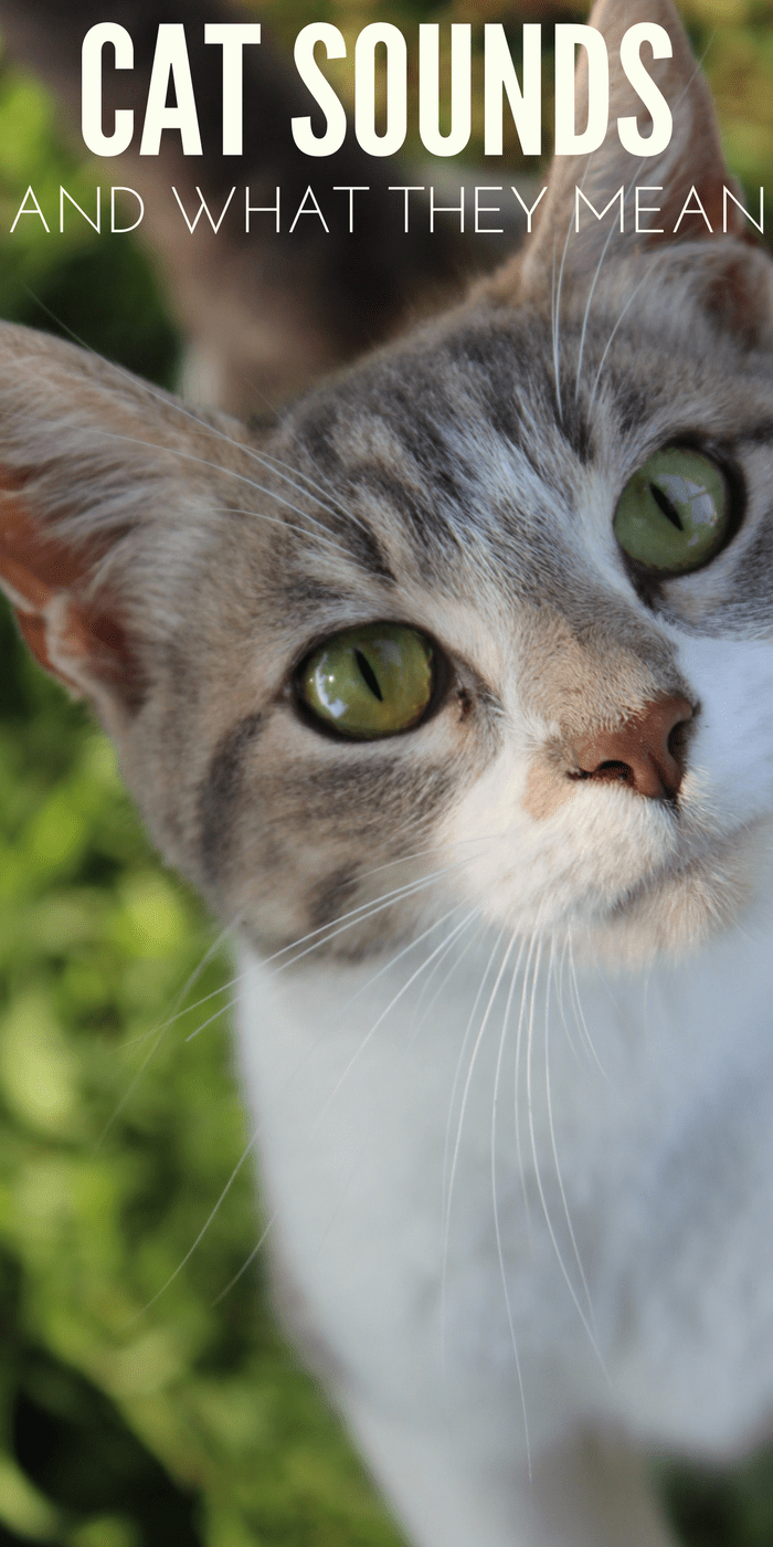 cat sounds and what they mean