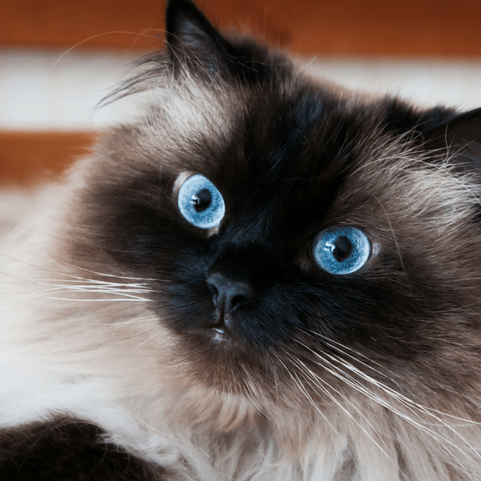 #CrazyCatLady #CatFacts #CatBreeds Himalayan cat facts