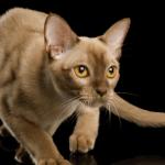 #CrazyCatLady #CatFacts #BurmeseCats