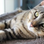 foster animals, fostering cats