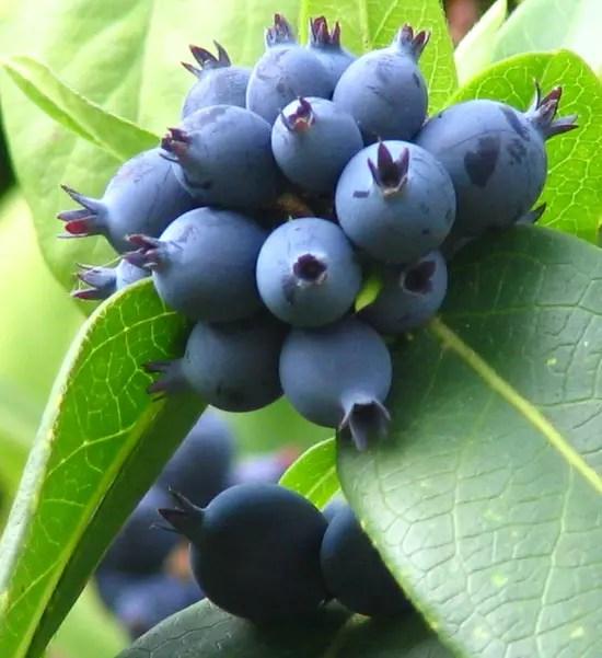 Cassis Fruit