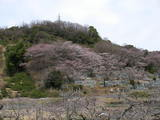 桃畑の向こうは、お墓の櫻が五分咲きです