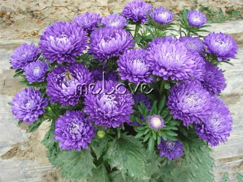 ful Chinese Aster Flower 200 Seeds Aster Callistephus ...