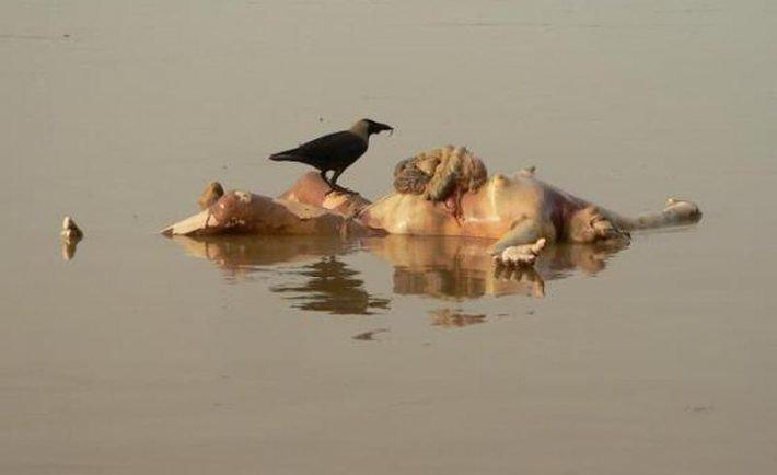 human-body-in-ganges-varanasi-710x434.jpg (혐) 인도인들의 성수 겐지스 강 실태.jpg