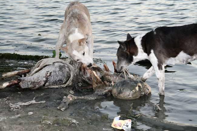 142442d1269467504-pictures-dead-decaying-bodies-floating-ganges-river-109.jpg (혐) 인도인들의 성수 겐지스 강 실태.jpg