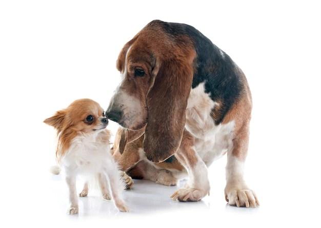 Filhote de Bloodhound e de Chihuahua em fundo branco vivem menos tempo