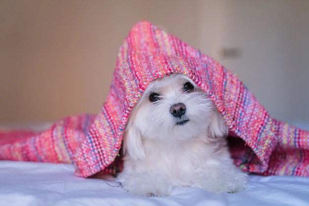 Maltês branco em cama sendo coberto por manta rosa
