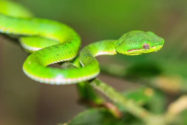 Cobra víbora verde | Foto Premium