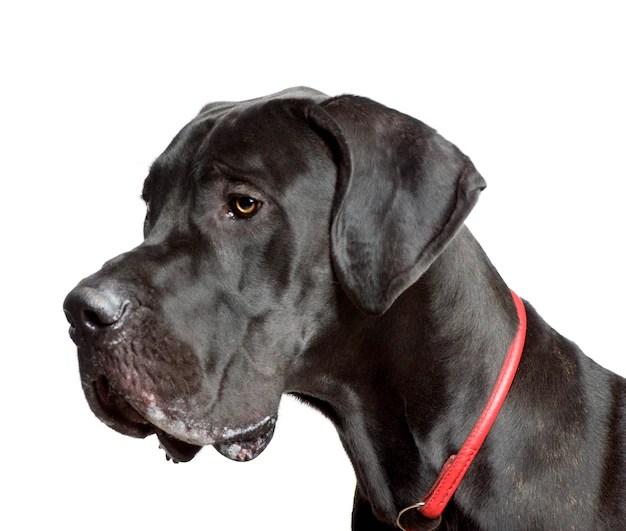 Dogue alemão preto de perfil em fundo branco vivem menos tempo