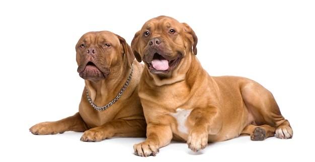 Dois dogue de bordéus deitados vivem menos tempo