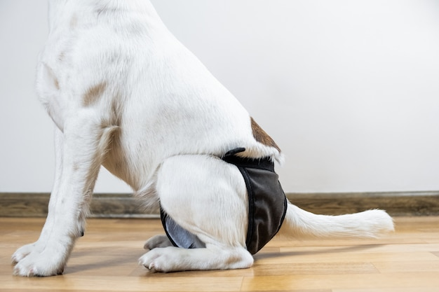 Cachorro sentado no chão usando fralda