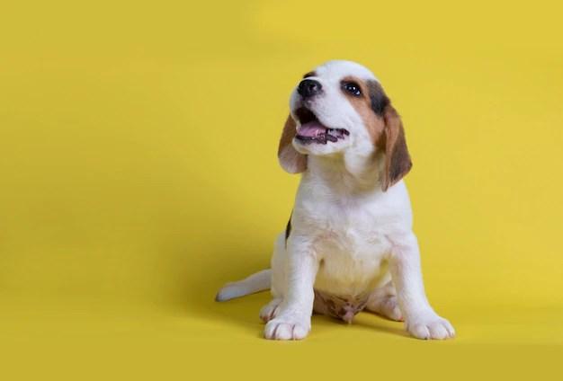 Filhote de beagle sentado em fundo amarelo