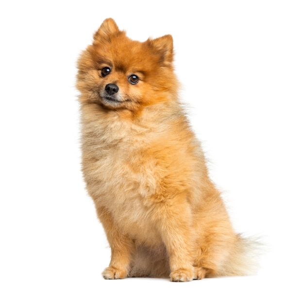 Lulu da Pomerânia sentado cães Spitz