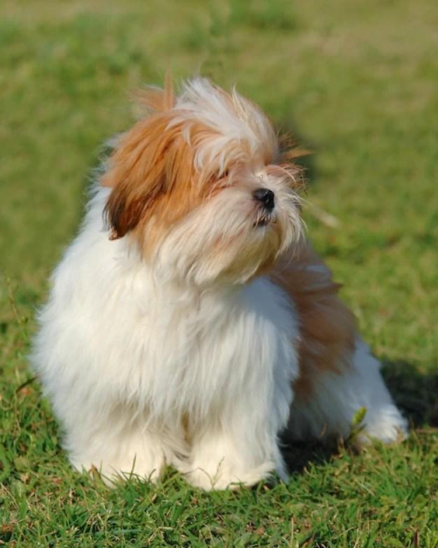 lhasa apso branco com marrom