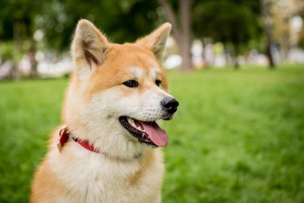 Akita inu adulto em parque cães do tipo spitz